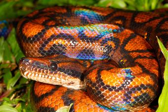 serpiente boa arco iris