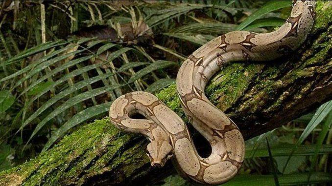 serpiente Boa constrictor