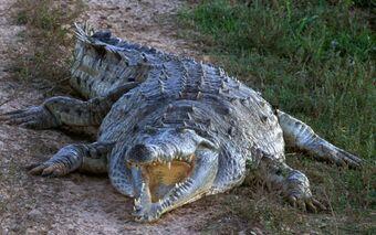 cocodrilo del Orinoco