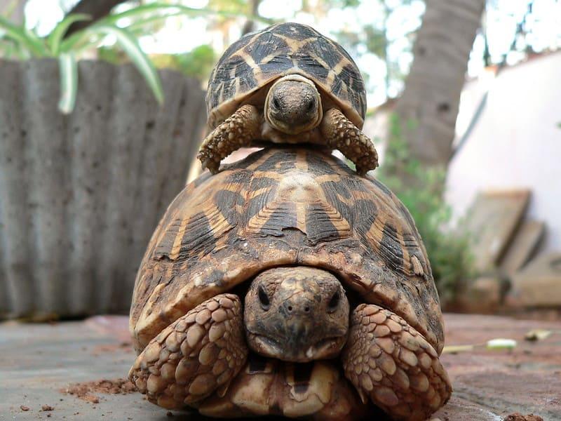 tortuga estrellada Geochelone-Elegans
