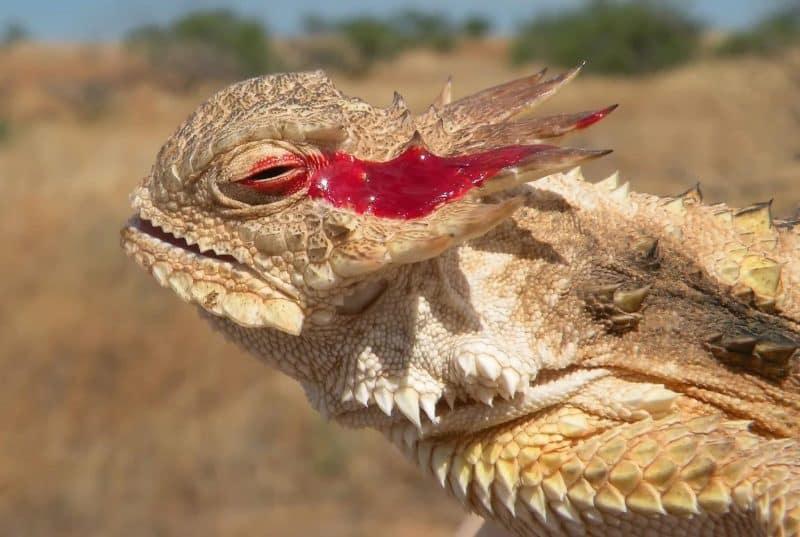 Lagarto cornudo tira sangre por los ojos
