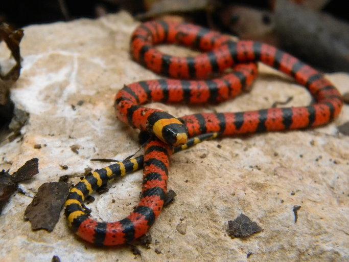 Micrurus_diastema serpiente coral