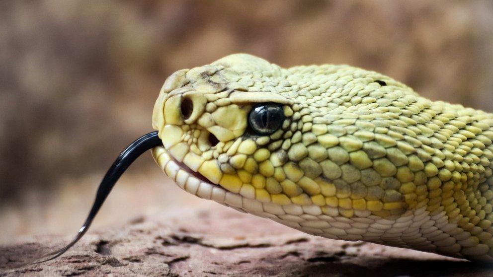 Cabeza de serpiente venenosa
