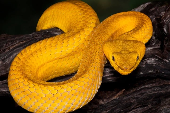Serpiente-cabeza-de-lanza