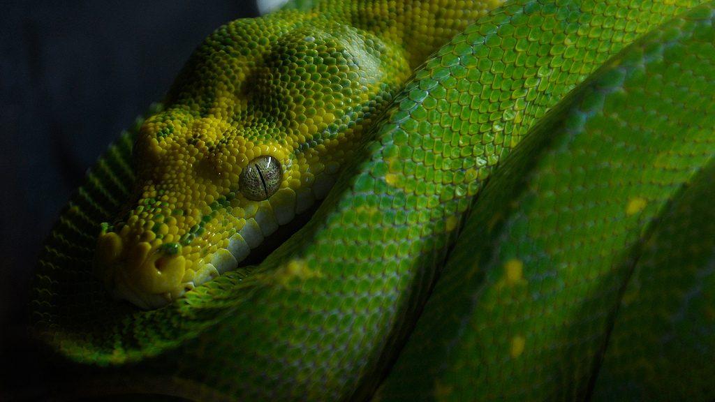 Serpiente piton verde arboricola
