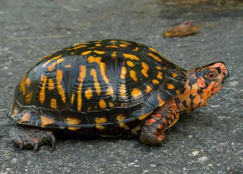 tortuga de caja común