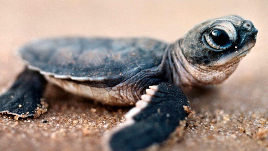 tortuga recien nacida