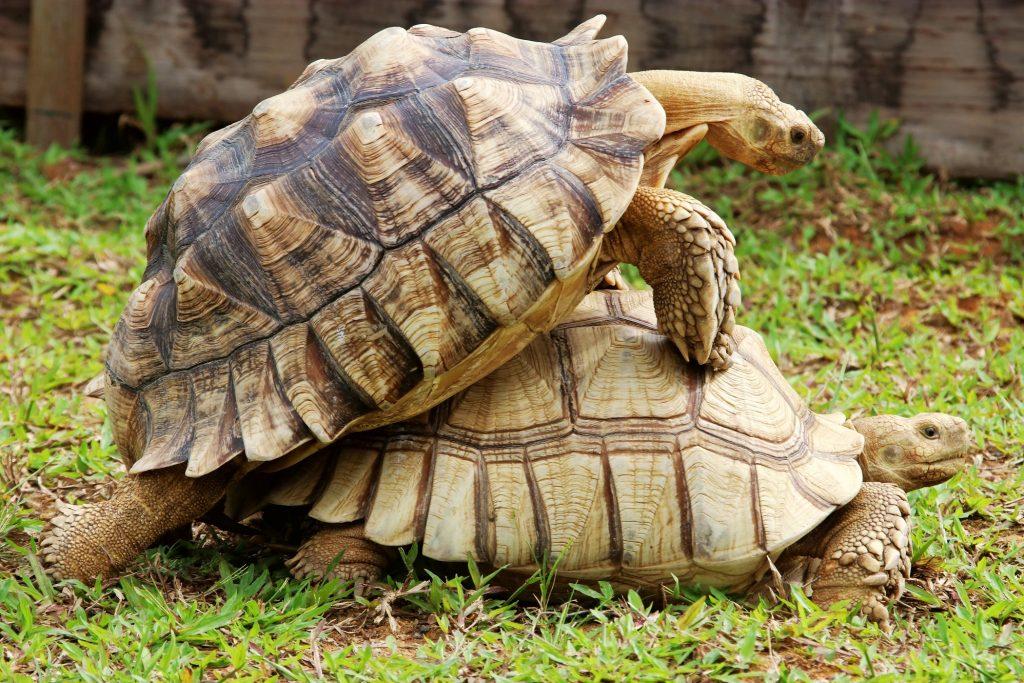 Tortugas-de-espolones-africanas-copulando