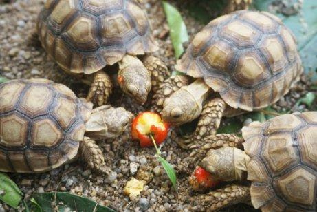 alimentacion-de-las-tortugas-africanas