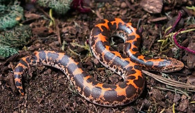 serpiente boa de arena de Kenia