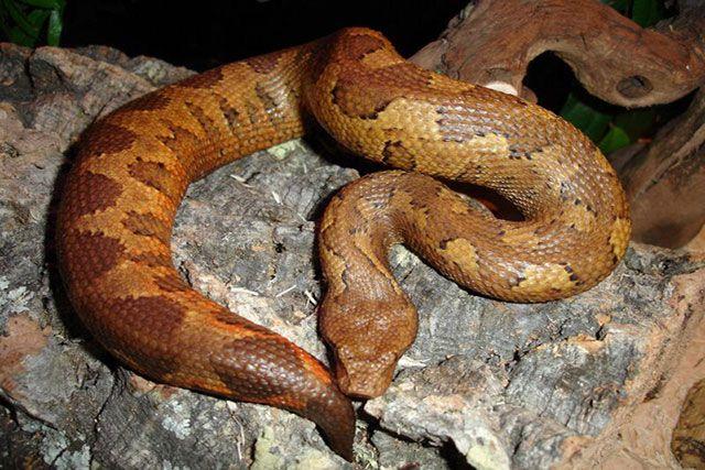 serpiente boa de isla del pacifico