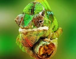 cabeza de camaleon