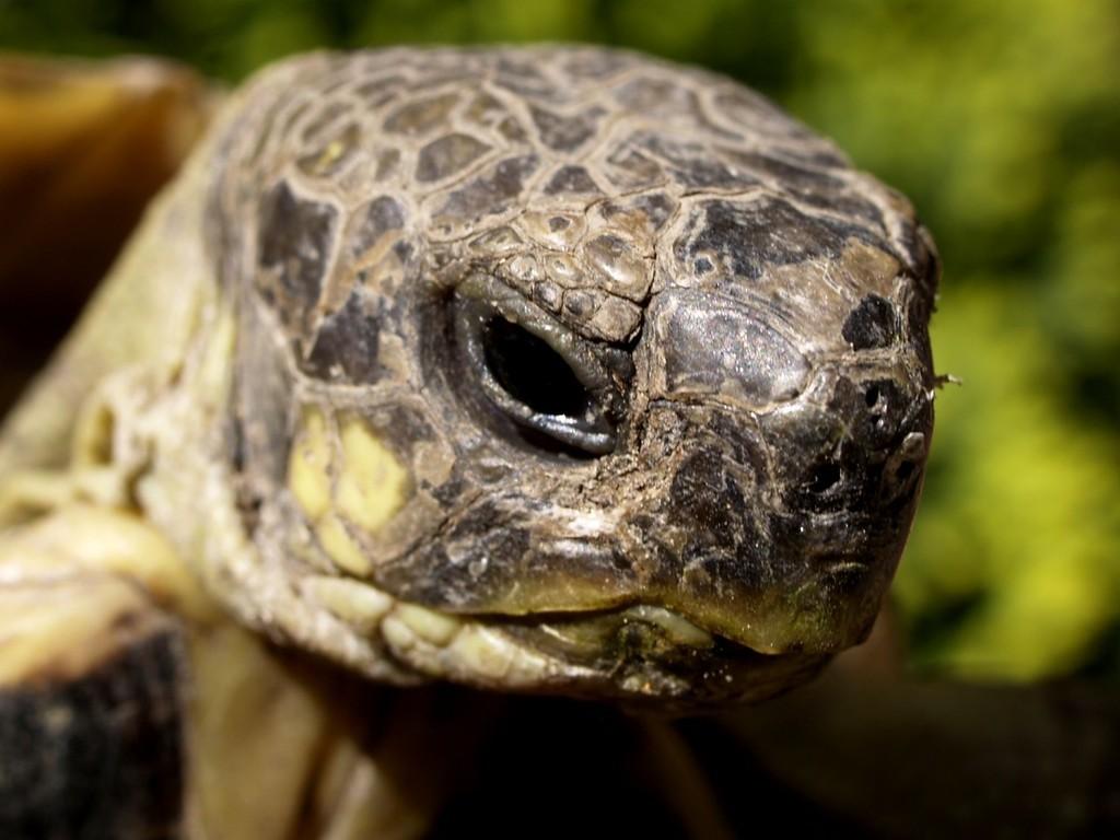 cabeza de tortuga mediterranea