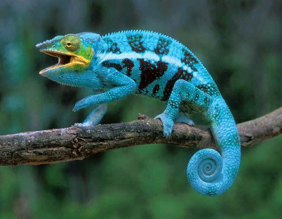 camaleon azul