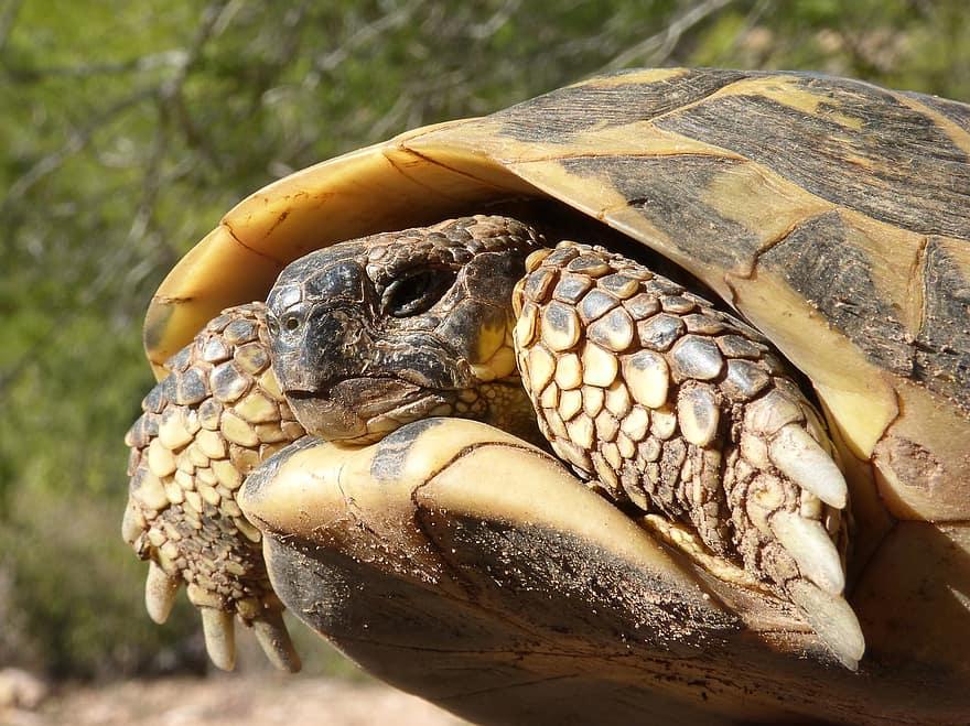 caparazon de tortuga mediterranea