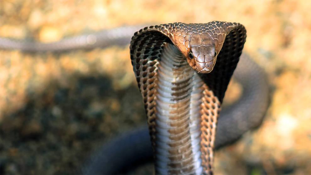 serpiente cobra china