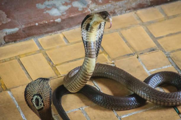 serpiente cobra de monoculo