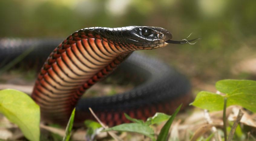 cobra serpiente