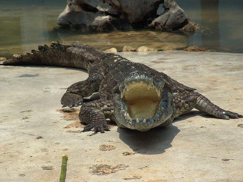 cocodrilo de Asia siames con la boca abierta