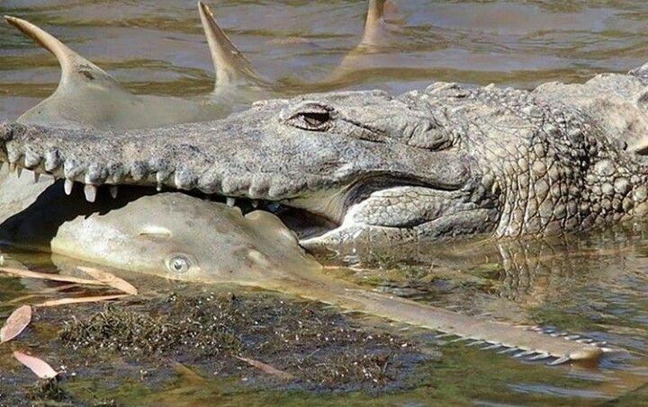 cocodrilo australiano cazando un pez sierra