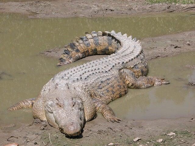 cocodrilo australiano de agua dulce