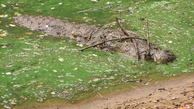 cocodrilo camuflado para cazar