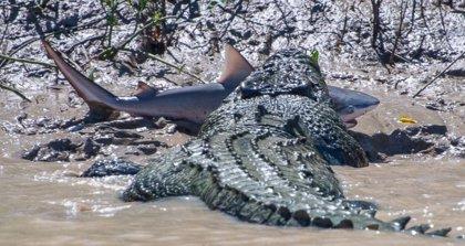 cocodrilo comiendo un tiburon en un rio