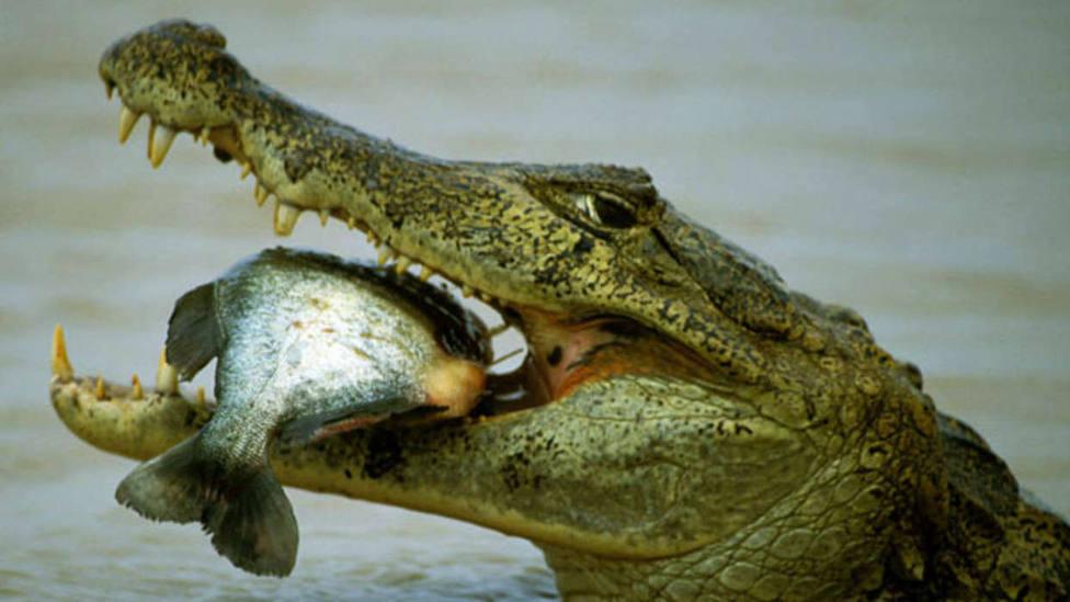 cocodrilo comiendo un pez