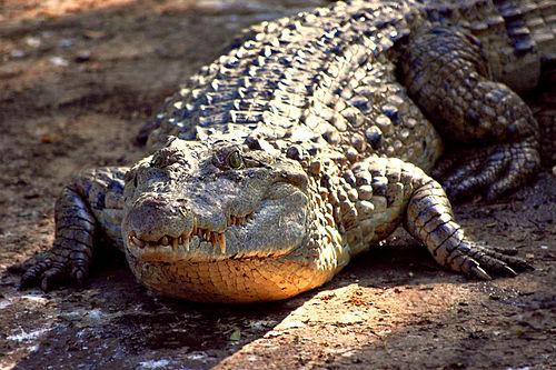 cocodrilo de Filipinas