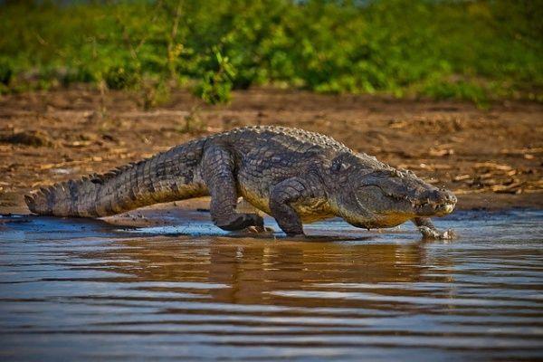 cocodrilo del Nilo africano