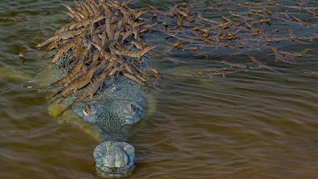 cocodrilo hembra cuidando de sus crias