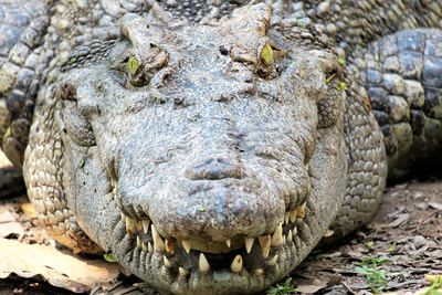 cocodrilo siames