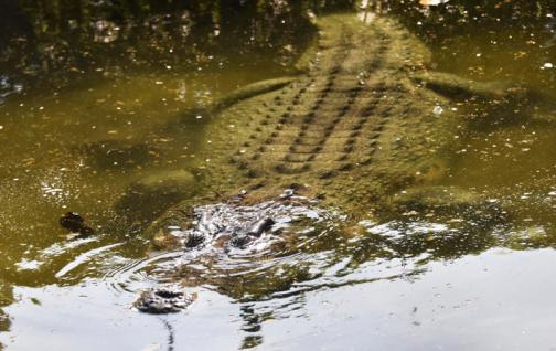 cocodrilo sumergido en el agua