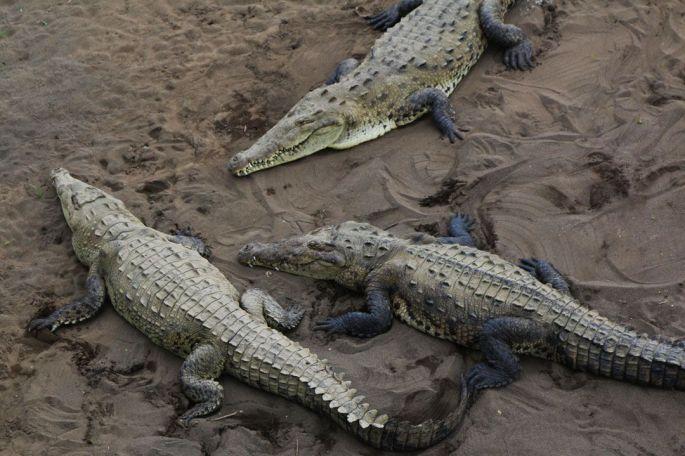 cocodrilos juntos