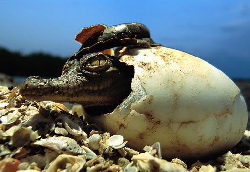 Cría de cocodrilo saliendo del huevo