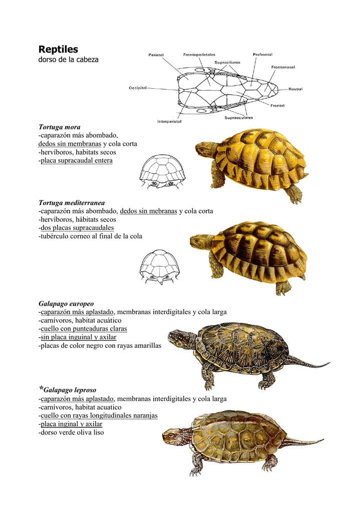 diferencias entre tortuga griega y mediterranea