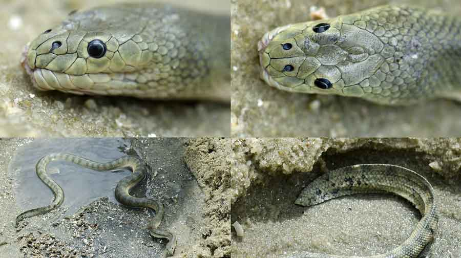 serpiente marina mas venenosa enhydrina-schistosa