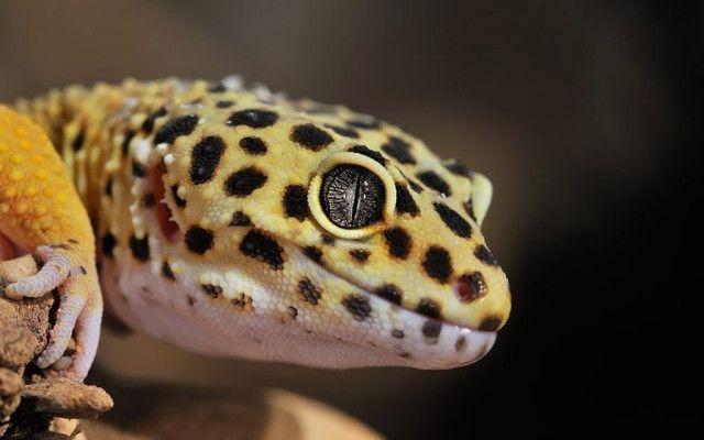 gecko leopardo