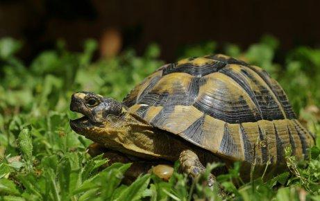 habitat con zona verde de fondo de tortuga mora
