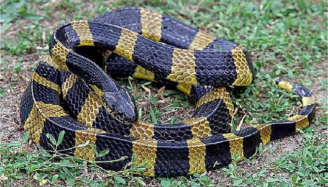 serpiente krait anillado comun