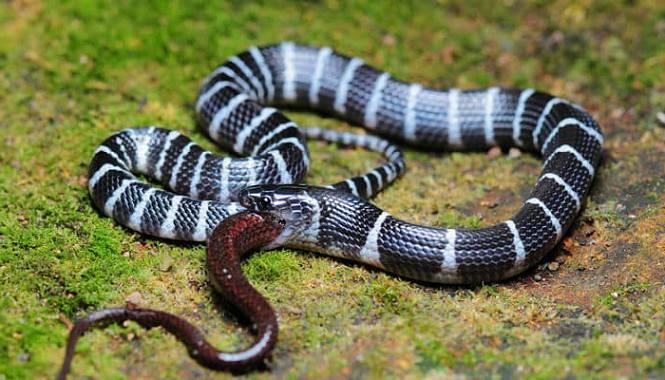 serpiente krait con bandas de taiwan