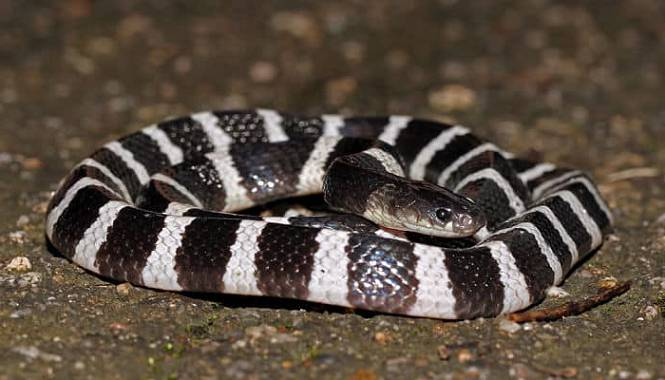 serpiente krait con bandas