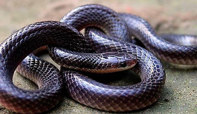 serpiente krait unicolor