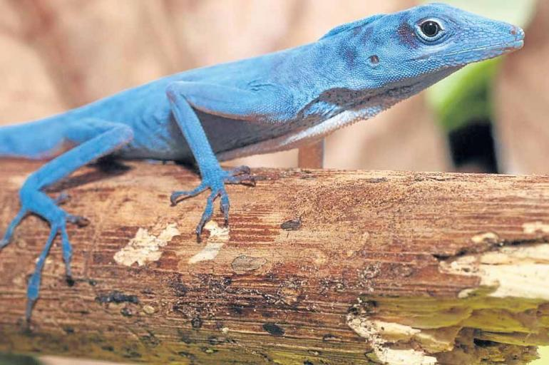 lagarto azul