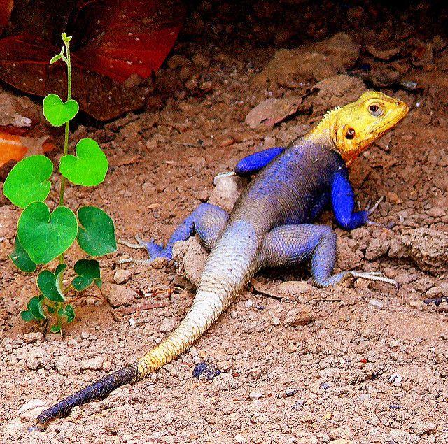 lagarto color azul y amarillo