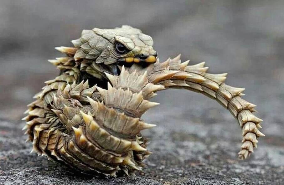 lagarto diablo espinoso