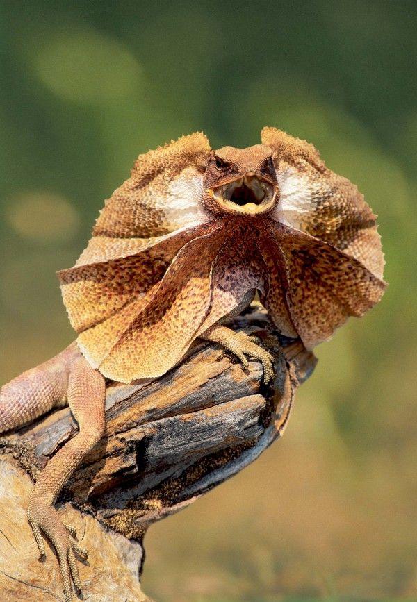 lagarto volador