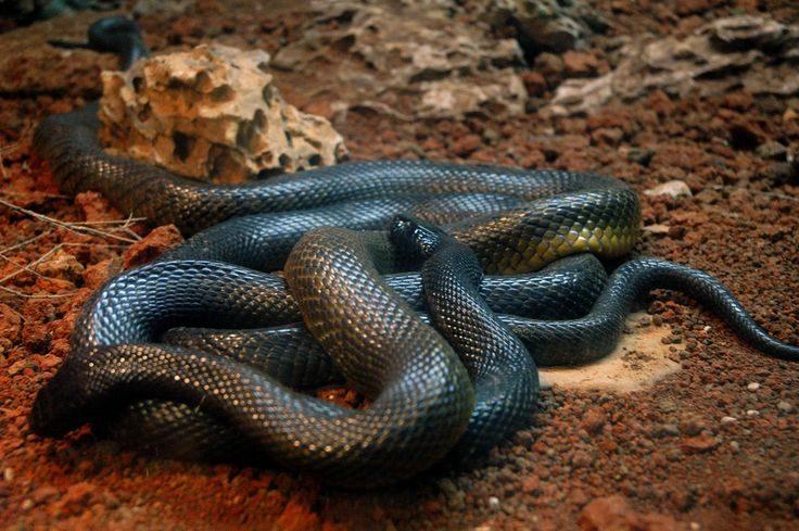 serpiente mamba negra reptando