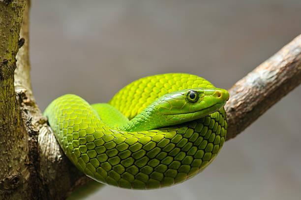 serpiente mamba verde el este