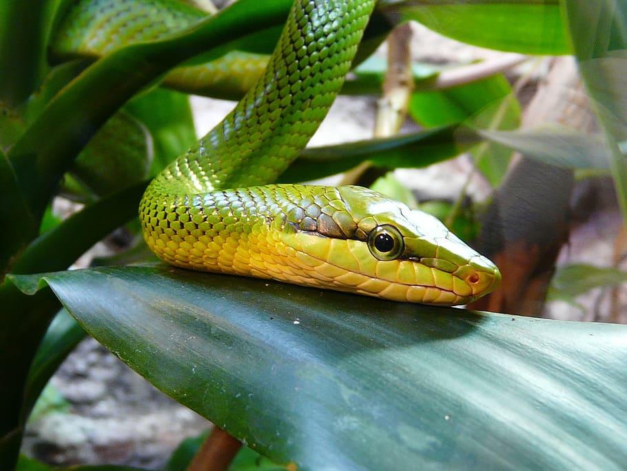 serpiente mamba verde